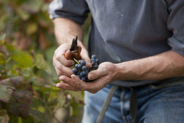 Vendanges au domaine Pierre Gaillard a Tupin-et-Semons, Cote-Rotie, septembre 2009     /     Grape harvest at domaine Pierre Gaillard at Tupin-et-Semons, Cote-Rotie, september 2009