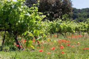 Weinberge mit Blumen und Gras an der Rhône