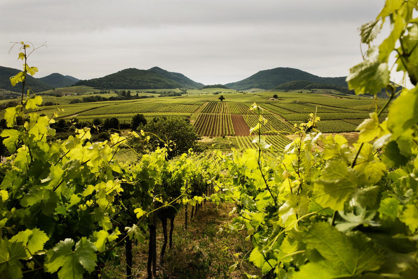 Das Weinanbaugebiet Pfalz